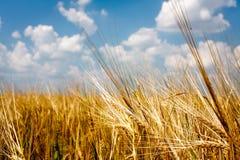 Campo di frumento giallo con cielo blu Fotografia Stock