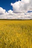 Campo di frumento giallo sotto cielo blu Immagini Stock Libere da Diritti