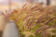 Campo di frumento Grano o segale dei baffi dell'oro Completi il primo piano dei grani Contro il cielo con il sole Immagini Stock