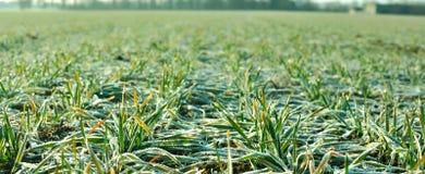 Campo di frumento in inverno Immagini Stock Libere da Diritti