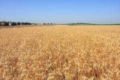 Campo di frumento. L'Israele. Immagini Stock Libere da Diritti