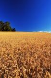 Campo di frumento maturo Fotografie Stock