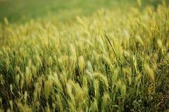 Campo di frumento naturale Immagini Stock