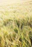 Campo di frumento nel tramonto Fotografie Stock Libere da Diritti