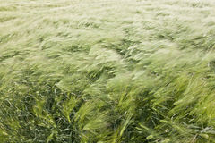 Campo di frumento nel vento Immagine Stock Libera da Diritti