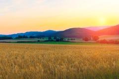 Campo di frumento nelle montagne Fotografia Stock