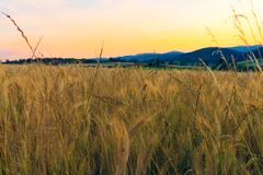 Campo di frumento nelle montagne Fotografie Stock