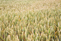 Campo di frumento Orecchie della fine del grano su Fondo delle orecchie di maturazione Immagine Stock