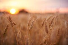 Campo di frumento Orecchie della fine dorata del grano su Bello paesaggio di tramonto della natura Paesaggio rurale nell'ambito d immagini stock