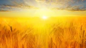 Campo di frumento Orecchie della fine dorata del grano su Bello paesaggio di tramonto della natura Paesaggio rurale nell'ambito d fotografie stock libere da diritti