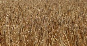 Campo di frumento Orecchie della fine dorata del grano su Bello paesaggio di tramonto della natura Paesaggio rurale nell'ambito d archivi video
