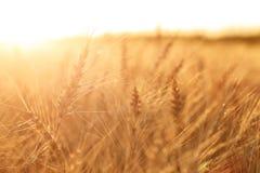 Campo di frumento Orecchie della fine dorata del grano su Paesaggio rurale nell'ambito del tramonto brillante fuoco selettivo del Fotografia Stock