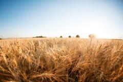 Campo di frumento Orecchie della fine dorata del grano su Paesaggio rurale nell'ambito del tramonto brillante fuoco selettivo del Immagine Stock