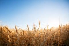 Campo di frumento Orecchie della fine dorata del grano su Paesaggio rurale nell'ambito del tramonto brillante fuoco selettivo del Fotografie Stock