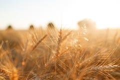 Campo di frumento Orecchie della fine dorata del grano su Paesaggio rurale nell'ambito del tramonto brillante fuoco selettivo del Fotografia Stock Libera da Diritti