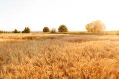 Campo di frumento Orecchie della fine dorata del grano su Paesaggio rurale nell'ambito del tramonto brillante fuoco selettivo del Immagini Stock Libere da Diritti