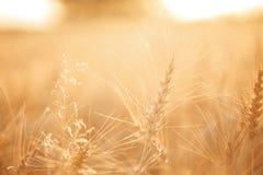 Campo di frumento Orecchie della fine dorata del grano su Paesaggio rurale nell'ambito del tramonto brillante Primo piano Fotografia Stock Libera da Diritti