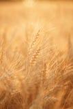 Campo di frumento Orecchie della fine dorata del grano su Paesaggio rurale nell'ambito del tramonto brillante Primo piano Immagine Stock Libera da Diritti