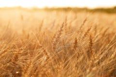 Campo di frumento Orecchie della fine dorata del grano su Paesaggio rurale nell'ambito del tramonto brillante Primo piano Fotografia Stock