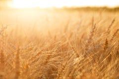 Campo di frumento Orecchie della fine dorata del grano su Paesaggio rurale nell'ambito del tramonto brillante Primo piano Immagine Stock