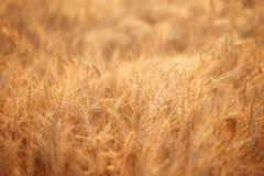 Campo di frumento Orecchie della fine dorata del grano su Paesaggio rurale nell'ambito del tramonto brillante Primo piano Immagini Stock