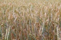 Campo di frumento Orecchie della fine non matura verde del grano su Bello paesaggio immagini stock