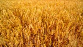 Campo di frumento Orecchie dorate del grano nel campo coltivato agricolo video d archivio