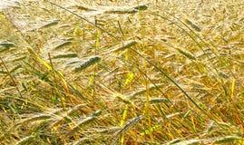 Campo di frumento Paesaggio rurale nell'ambito della luce solare brillante Fotografia Stock Libera da Diritti