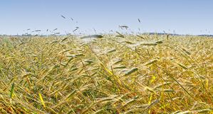 Campo di frumento Paesaggio rurale nell'ambito della luce solare brillante Immagine Stock Libera da Diritti