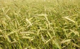 Campo di frumento Paesaggio rurale nell'ambito della luce solare brillante Fotografie Stock