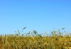 Campo di frumento Paesaggio rurale nell'ambito della luce solare brillante Fotografie Stock Libere da Diritti