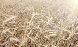 Campo di frumento Paesaggio rurale nell'ambito della luce solare brillante Immagini Stock Libere da Diritti