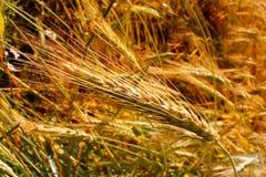 Campo di frumento Paesaggio rurale nell'ambito della luce solare brillante La maturazione dei grani del grano Immagine Stock Libera da Diritti