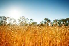 Campo di frumento Paesaggio rurale nell'ambito di luce solare brillante Un fondo del grano di maturazione Raccolta ricca fotografia stock libera da diritti