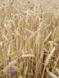 Campo di frumento pieno di sole immagine stock