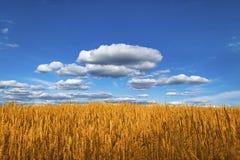 Campo di frumento sotto cielo blu fotografie stock libere da diritti