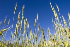 Campo di frumento sotto cielo blu Fotografia Stock Libera da Diritti