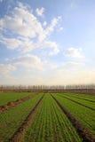 Campo di frumento sotto il cielo blu Fotografia Stock Libera da Diritti