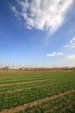 Campo di frumento sotto il cielo blu Fotografie Stock