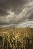 Campo di frumento sotto il cielo minaccioso Fotografie Stock