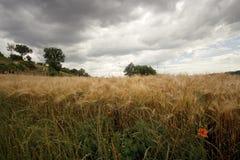 Campo di frumento sotto il cielo minaccioso Fotografia Stock Libera da Diritti