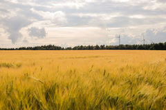 Campo di frumento sotto il sole Immagini Stock