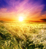Campo di frumento su un'alba della priorità bassa Fotografia Stock Libera da Diritti
