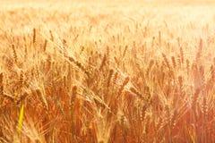 Campo di frumento su una sera di estate Immagini Stock Libere da Diritti