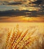 campo di frumento a tempo di tramonto Immagini Stock Libere da Diritti