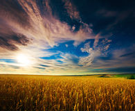 Campo di frumento ucraino sul cielo blu Fotografia Stock Libera da Diritti