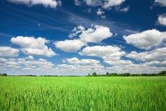 Campo di frumento verde Immagine Stock Libera da Diritti