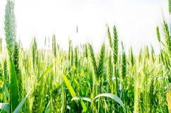 Campo di frumento verde Fotografie Stock Libere da Diritti
