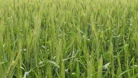 Campo di frumento verde stock footage