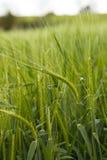 Campo di frumento verde Fotografia Stock